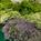 Trachelium Asst Mix