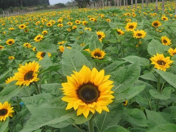 Sunbright - Sunflowers - Flowers and Fillers - Flowers by ...