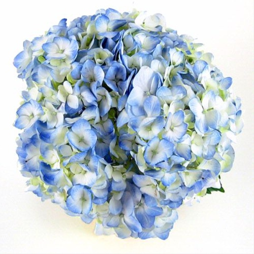 Light Blue - Hydrangea - Flowers and Fillers - Flowers by ...  Blue