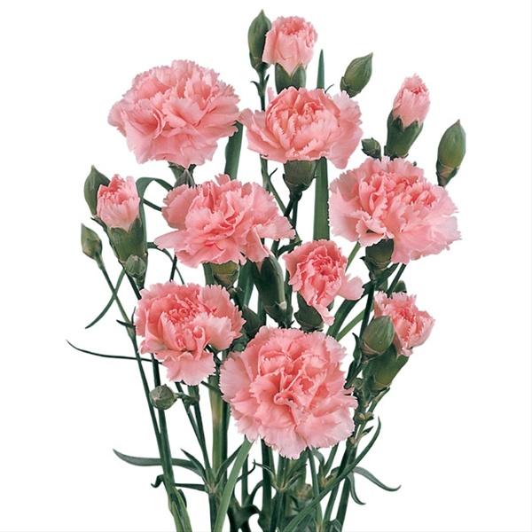 e878bcc2e01f Barbara Light Pink - Mini Carnation - Carnations - Flowers by ...
