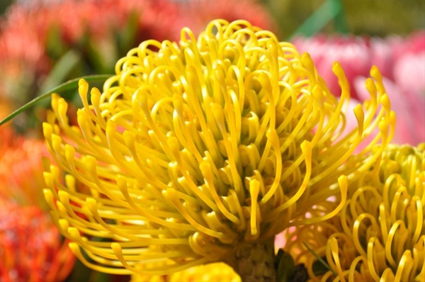 High Gold Pincushion Proteas And Leucadendrons Flowers By