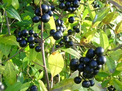 Black Berried Privet Branches And Flowering Branches