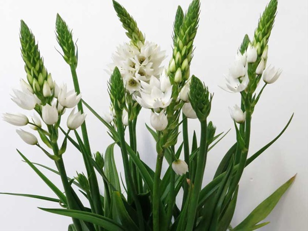 Ornitho White Mount Fuji Ornithogalum Flowers And Fillers Flowers By Category Sierra