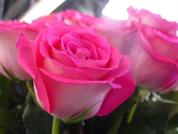 Latin Breeze Standard Rose Roses Flowers By Category Sierra Flower Finder
