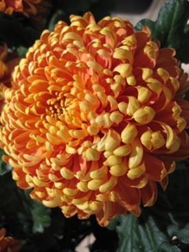 Chrys Disbud Mum Resource Disbuds Mums Chrysanthemum Flowers By Category Sierra Flower