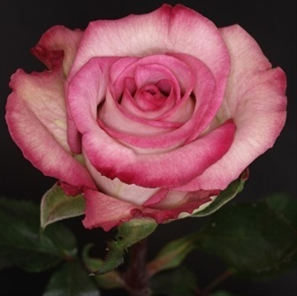 Classic Cezanne Standard Rose Roses Flowers By