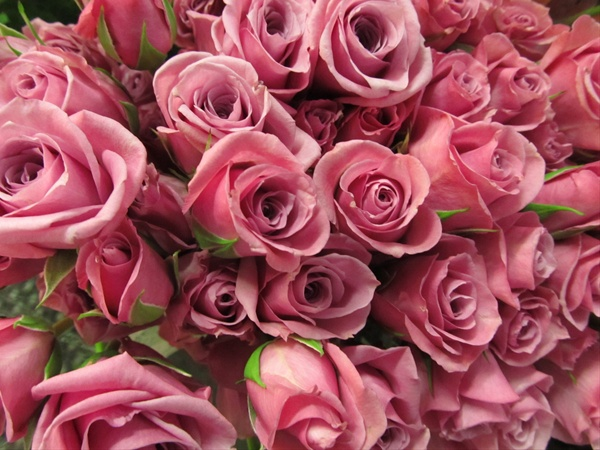 Spray Rose Blue Moon Spray Rose Roses Flowers By Category Sierra Flower Finder