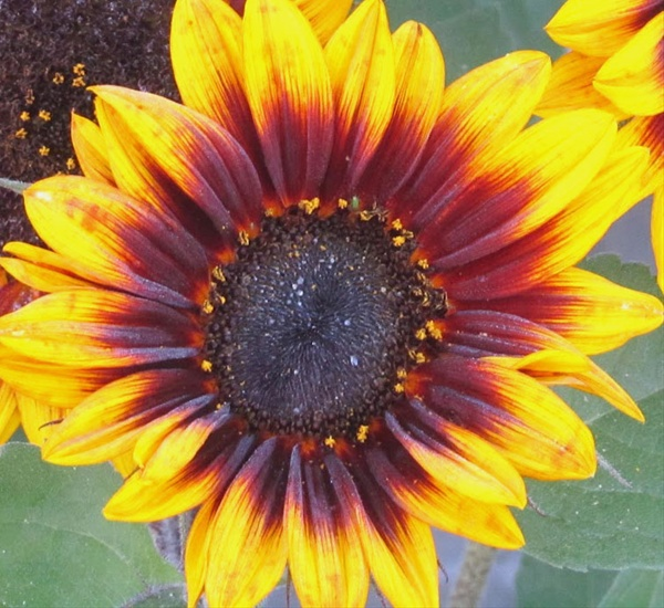 Firewalker - Sunflowers - Flowers and Fillers - Flowers by ...