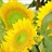 Sunbeam - Sunflowers - Flowers and Fillers - Flowers by ...