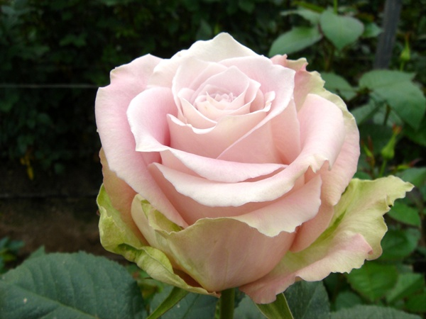 Faith - Standard Rose - Roses - Flowers by category ...