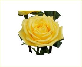 7238938b774e Latina - Rose Standard - Roses - Fleurs par catégorie