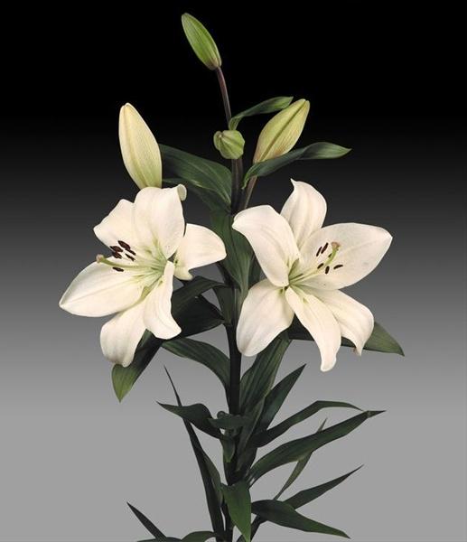 Litouwen L A Hybrids Lilies Flowers By Category Sierra Flower Finder