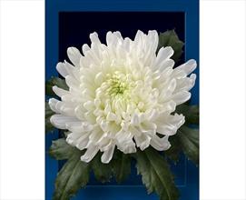 Chrys Disbud White Cavallini Disbuds Mums Chrysanthemum Flowers By Category Sierra