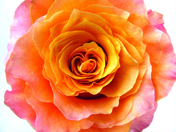 Rose Free Spirit Standard Rose Roses Flowers By Category Sierra Flower Finder