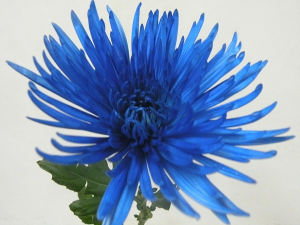 Anastasia Painted Blue - Disbuds/Mums - Chrysanthemum ...