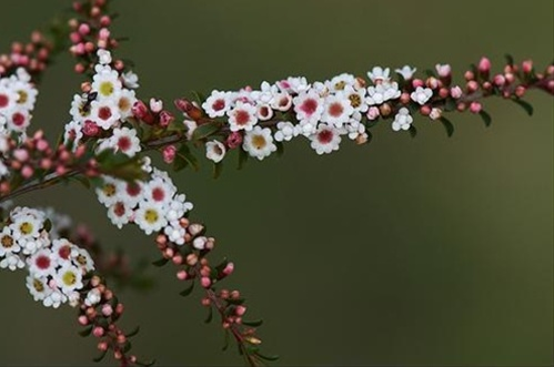 Thryptomene Calycina Thryptomene Flowers And Fillers Flowers By Category Sierra Flower