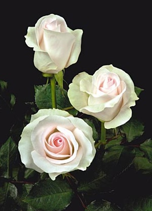 Rose Bridal Akito Standard Rose Roses Flowers By