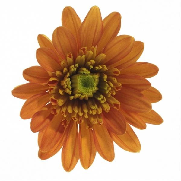 Bradford Orange Spray Pompoms Chrysanthemum Flowers By