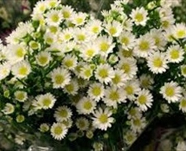 Aster Mardis Gras White Spray Asters Asters Flowers By Category Sierra Flower Finder
