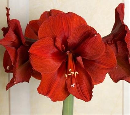 Amaryllis Ferrari Amaryllis Flowers And Fillers Flowers By Category Sierra Flower Finder