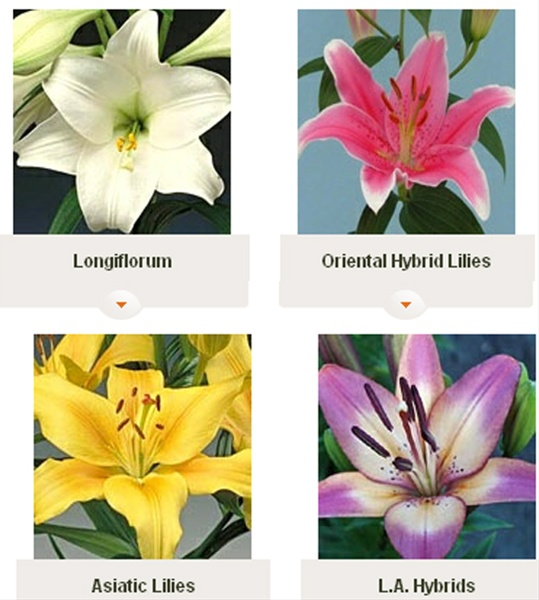 Types Of Lilies: Combo Lily Oriental, L.A & Asiatic