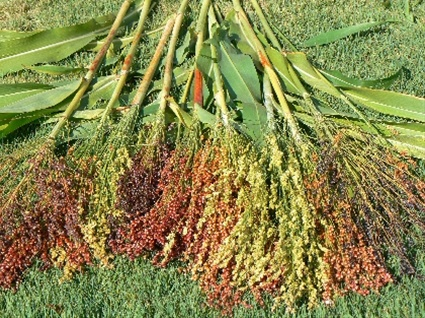 Broom Corn - Millet - Flowers and Fillers - Flowers by category