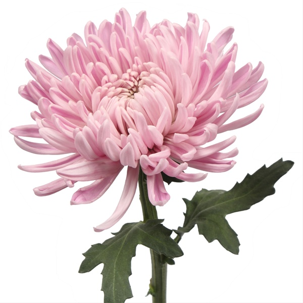 3f74bd86e Escapade - Disbuds Mums - Chrysanthemum - Flowers by category ...