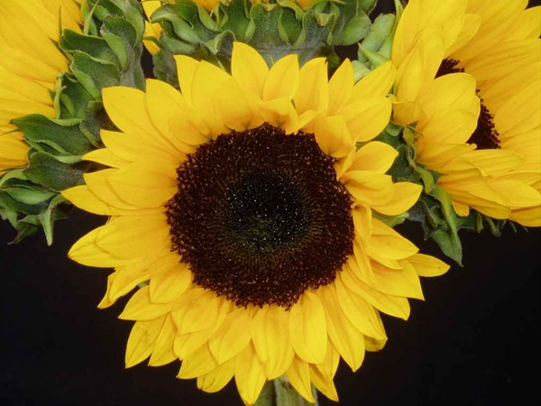 Sunrise - Sunflowers - Flowers and Fillers - Flowers by ...