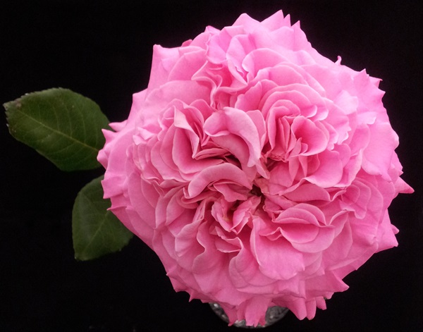 Garden Rose Ashley Garden Rose Roses Flowers By Category Sierra Flower Finder