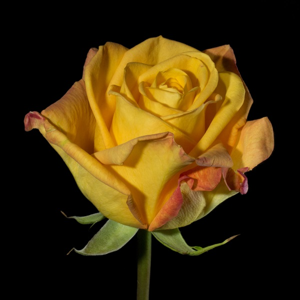 rose yellow colour