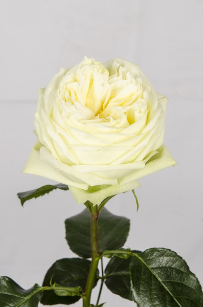 Garden Rose White Piano - Garden Rose - Roses - Flowers by ...