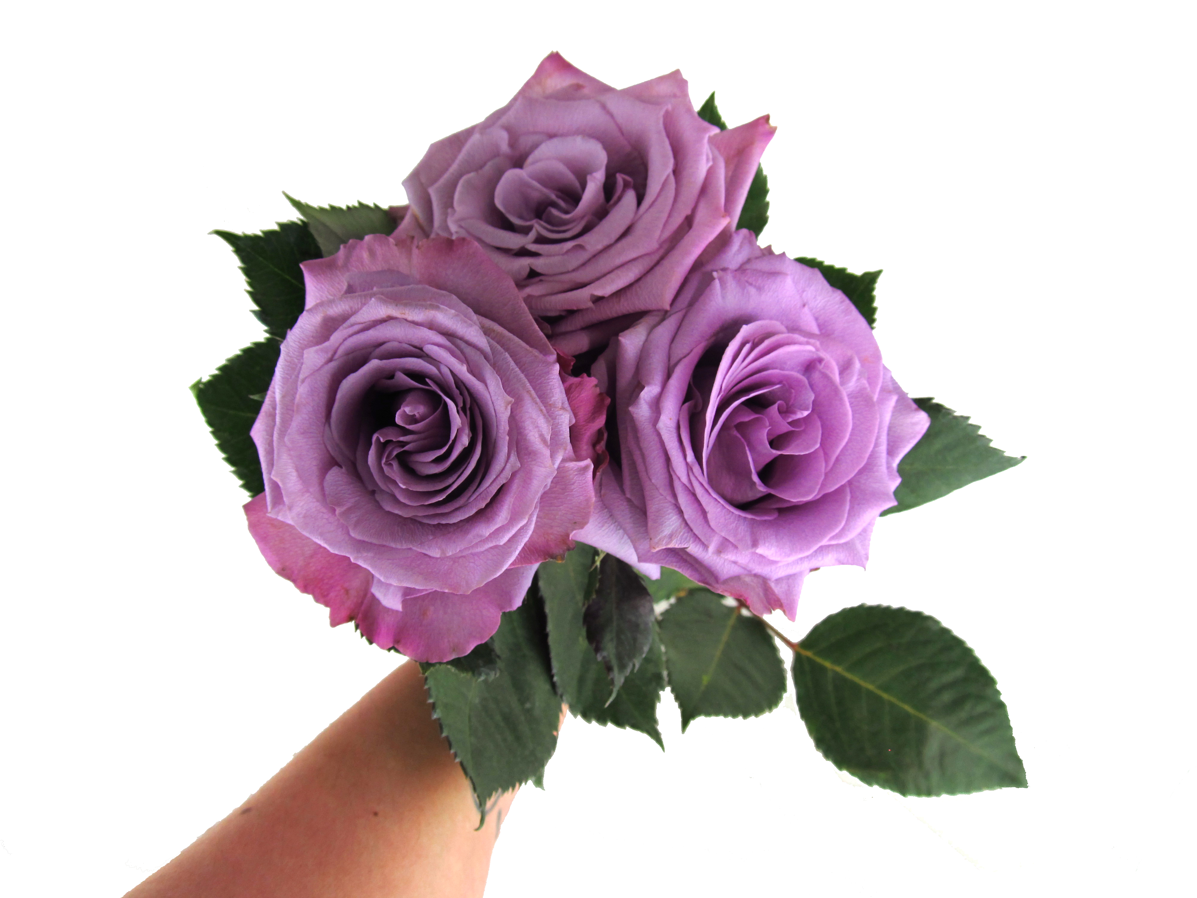 Rose Blue Applause - Standard Rose - Roses - Flowers by category ...